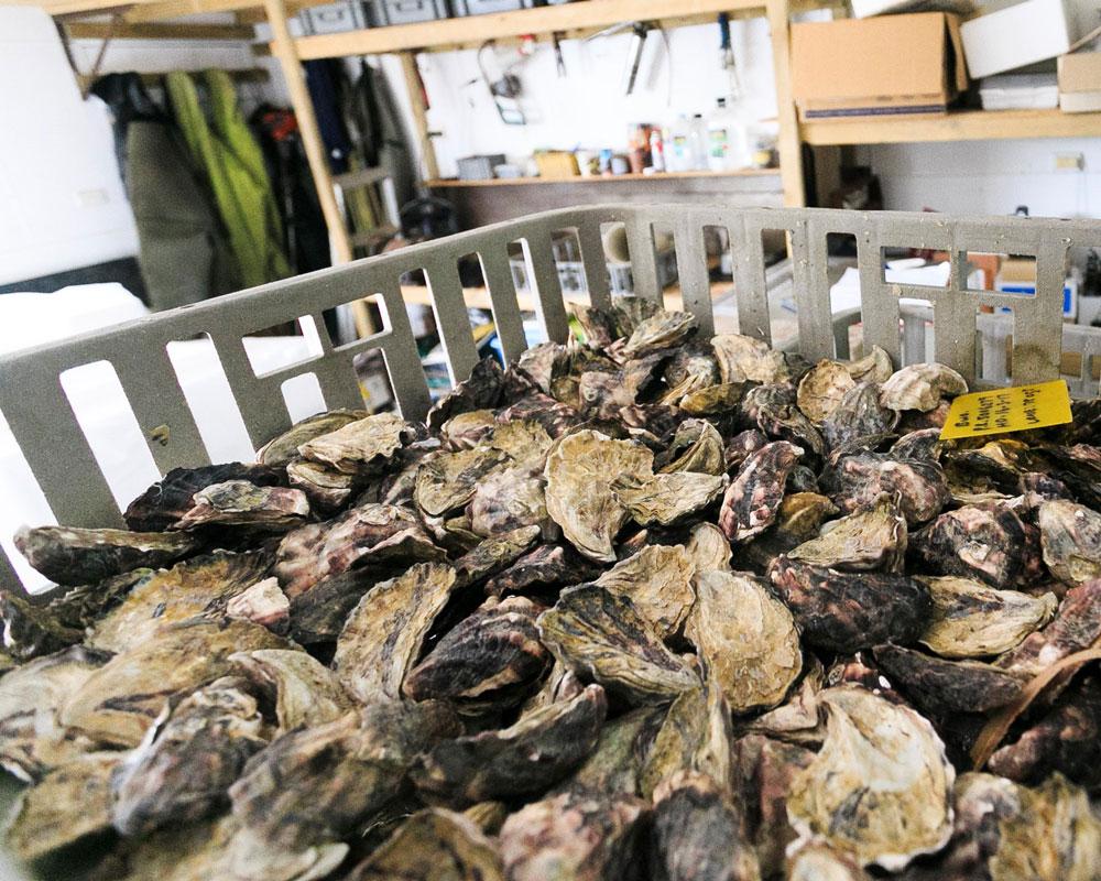 A plate of Pambula oysters