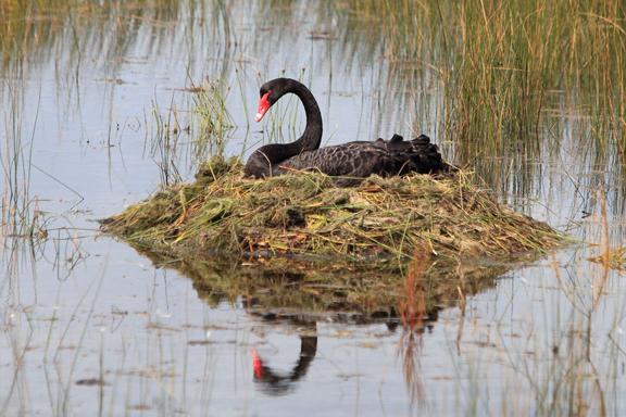 Holiday Haven Swan Lake